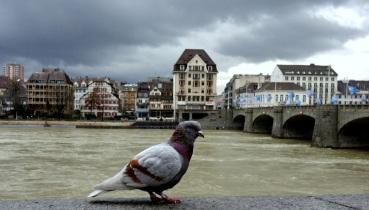 Rheintaube