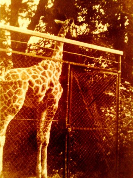 la giraffe